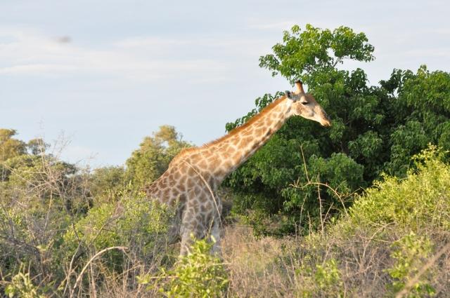 Giraffe in Okavango Delta