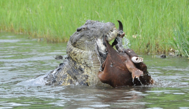 Crocodile eating Impala in Chobe