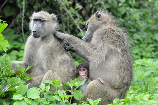 Baboons in Chobe