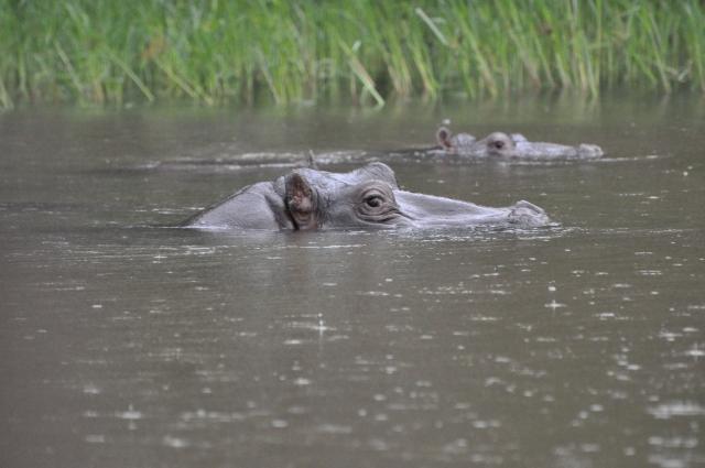 Chobe Hippos
