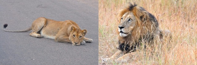 Would you rather remember the lazy lioness in the middle of a paved road, or the majestic male 10 feet to her right?
